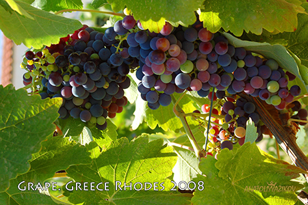 Grape-Greece-Rhodes-2008