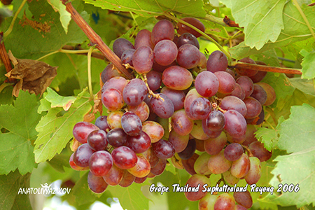 Grape-Thailand-Suphattraland-Rayong-2006