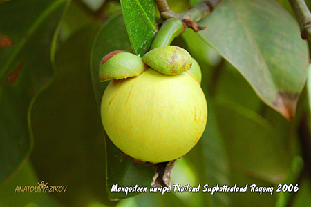 Mangosteen-unripe-Thailand-Suphattraland-Rayong-2006